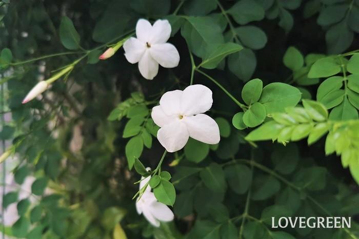 花期:6月~7月 分類:常緑または落葉つる性植物 ソケイは夏に香りの良い花を咲かせるつる植物です。ソケイの仲間は多く、つるにならない種類もあります。庭植えで毎年花を咲かせてくれる花です。