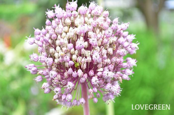 無数の花はいっぺんには咲かず、少しずつ開花するため、花はとても長持ち。開花時は、つぼみの時には想像できない大きな花になります。