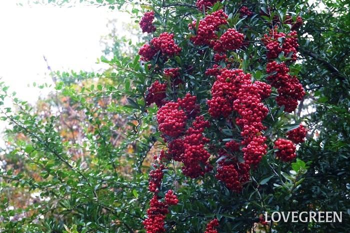 観賞期:11月~2月 樹高:3~5m ピラカンサは、枝の先に真赤な実をたわわに下げるように実らせる常緑低木です。果実は食用にはできません。枝に小さなトゲがあるので防犯の役割も果たすとして生垣としても人気です。