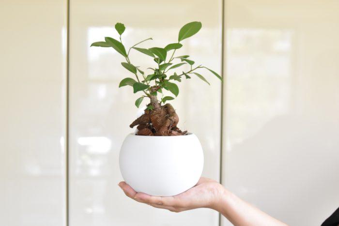 ガジュマルは、観葉植物の中でもフォルムが様々。  コンパクトなサイズでも育てやすく、枝が折れても新芽が出てくるぐらい丈夫な観葉植物です。