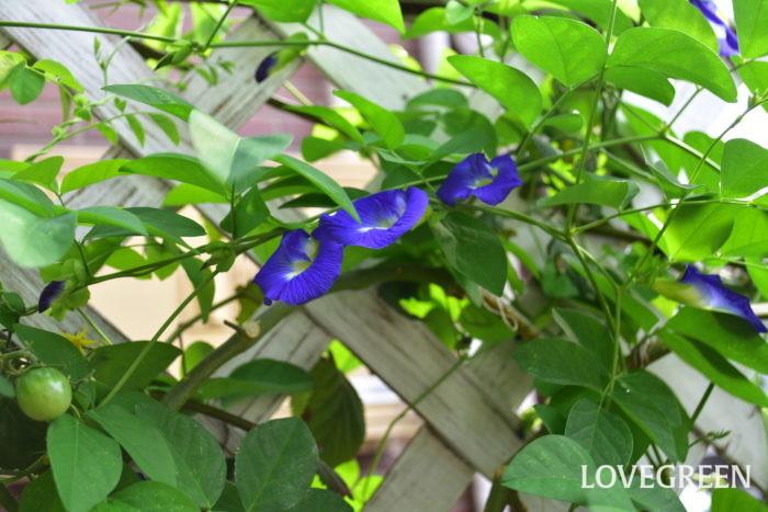 8月に咲く花・バタフライピー