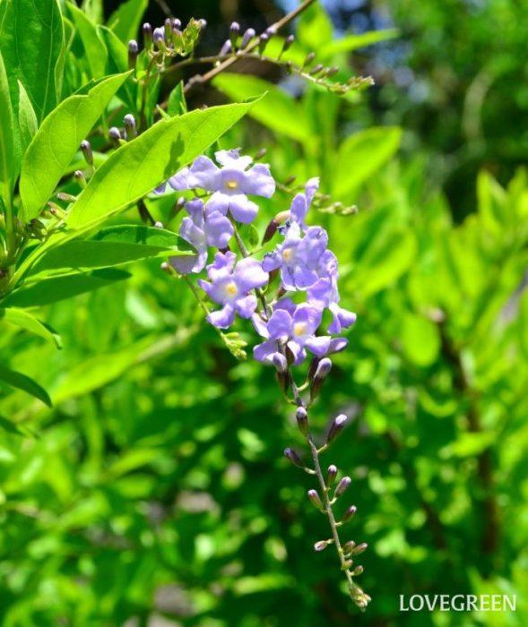 デュランタは紫や白色の小さい花が集まって房になり、垂れ下がって咲く熱帯花木。初夏から秋まで次々と花を咲かせます。夏の鉢物や観葉植物として人気がありますが、とても丈夫で霜に当たらなければ屋外で冬越できることから、暖地では庭木や生け垣として使われているのをよく目にします。暑さや乾燥に強く生育旺盛ですが、寒さにはそれほど強くないので霜に当たらないように冬越し対策が必要です。  デュランタは日当たりの良い環境が大好きで、日がよく当たると花付きが良くなり、日が当たらないと花が咲かなくなります。室内で育てる際も、なるべく日当たりの良い明るい場所に置くことが大切です。花後に丸いオレンジ色の小さな実ができますが、実は有毒なので食べることはできません。  デュランタには、斑入り葉や黄金葉などのタイプも流通しています。そのような品種はあまり花は咲かず、緑葉のデュランタに比べてさらに寒さに弱い性質がありますが、美しい葉色を楽しむカラーリーフプランツとして人気があります。  デュランタの花言葉「目をひく容姿」「あなたを見守る」「歓迎」は、デュランタの垂れ下がるように咲く美しい花を見ると、きれいな花たちに歓迎されている(見守られている)ような気分になることからイメージして付けられたのではと言われています。