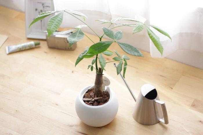 夏におすすめの観葉植物パキラは、比較的乾燥に強く、丈夫で害虫もつきにくいため、初心者におすすめの観葉植物です。  幸運な木という言い伝えられ「発財樹(Money tree)」という別名がついたといわれているところから、金運によいなど言われ、縁起物として飾る人もいます。  ただ、夏の暑い日差しで葉が焼けてしまい、茶色になってしまうこともあるのでカーテン越しに日が当たる場所に置くのがおすすめです。