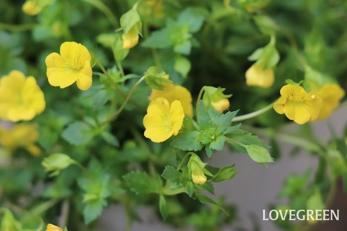 メカルドニアは、初夏から秋に小さな黄色い花をたくさん咲かせます。日当たりと水はけの良い場所を好み、多湿を嫌います。夏の暑さや乾燥にも強く丈夫ですが、寒さに弱いため一年草扱いされることが多い植物です。初夏から秋まではグランドカバーとしても使えます。暖地では、霜の当たらない軒下などで乾かし気味に水やりを続けると越冬できます。冬越し後のメカルドニアは葉が黒くなって枯れてしまったように見えることがありますが、根が生きていると春に再び芽吹きます。  メカルドニアは横に広がって生長する匍匐性の特徴があり、草丈は5~10cmくらいと低く、下へ垂れ下がります。寄せ植えに使うと縁からこぼれ咲く花姿がとてもきれいです。ハンギングバスケットなどで高い場所に飾るとさらに美しさが引き立ちます。  メカルドニアは生長して伸びすぎてしまったら、好きな場所で切り戻しできます。切り戻すことで風通しが良くなり、病害虫の発生も防ぐことができ、脇芽も増えて草姿が美しくなります。  メカルドニアの花言葉「思い続ける」は、初夏から秋まで可愛い花が咲き続ける姿からイメージして付けられたと言われています。