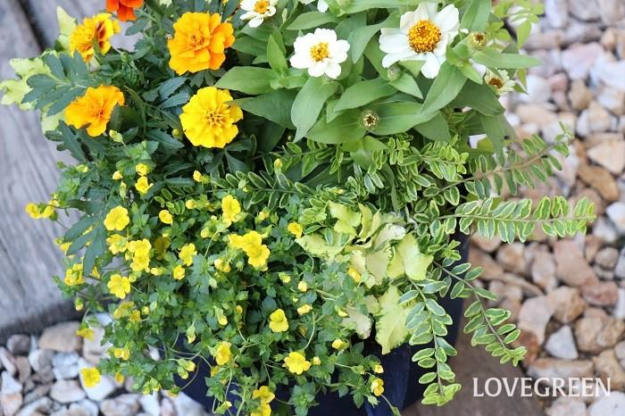 メカルドニアは横に広がって生長する匍匐性の特徴があり、草丈は低く下へ垂れ下がります。寄せ植えに使うと縁からこぼれ咲く花姿もとてもきれいです。ハンギングバスケットなどで高い場所に飾るとさらに美しさが引き立ちます。  メカルドニアは花が小さいので目立ちにくいですが、他の植物と合わせると可愛さが活かせます。寄せ植えを作るときに大きな花が咲くものばかりを集めると、場合によっては少し暑苦しく見えがちですが、メカルドニアのような小花を入れると、メインの花を引き立たせ、繊細で爽やかな雰囲気をプラスしてくれます。