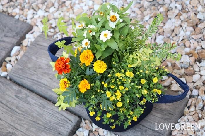 メカルドニアが伸びすぎてしまったら、好きな場所で切り戻しをするときれいな草姿を保てます。切り戻しすることで風通しが良くなり、病害虫の発生も防ぐことができます。ぜひ、可愛い小花が次々と咲くメカルドニアを育ててお楽しみください。