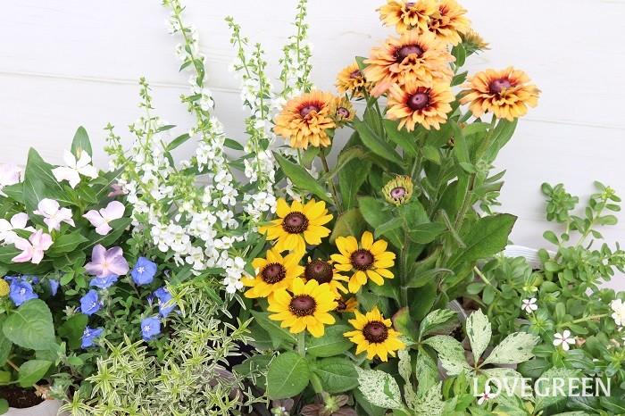ルドベキアは、鉢植えでも地植えでも育てることができます。寄せ植えに使っても花壇植えにしても、ルドベキアは目を引くメインの花となってその場を芸術的とも言える華やな雰囲気にしてくれます。地植えのルドベキアは、植えてすぐの時や乾燥が続く時には水やりをしますが、それ以外は水やりしなくても育ちます。