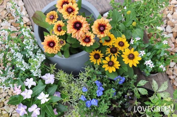 それでは、8月の寄せ植えにおすすめの草花を紹介していきます。暑い中でも次々咲くものや、高温多湿を好むもの、丈夫で涼し気なカラーリーフを集めました。前回紹介した「7月の寄せ植えにおすすめの花12選」の植物は、もちろん8月にも使えるので合わせて参考にしてみてくださいね。