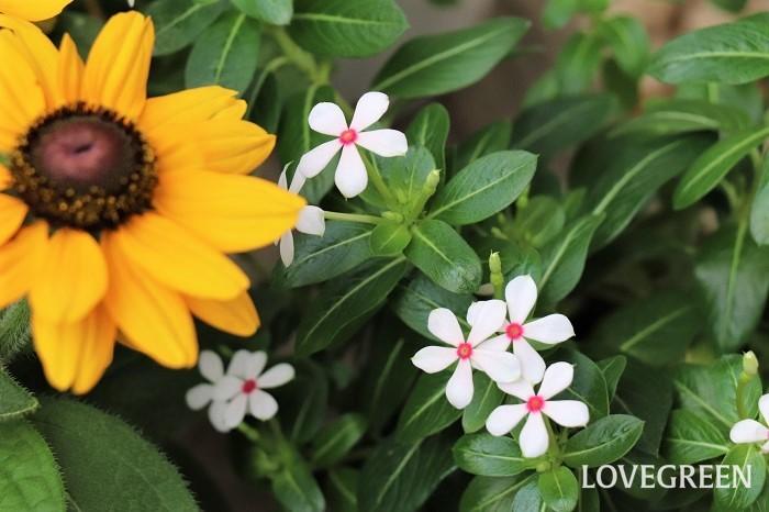 ニチニチソウ夏花火は、普通のニチニチソウよりも花のサイズが小さい特徴があります。5月~10月頃、可愛い小輪の花が花火みたいに次々と咲き広がります。白い花びらで中心が赤いからでしょうか、ホワイトレッドアイという名もついています。  強い光を好むので、できるだけ日当たりが良い場所で育てます。過湿になると灰色カビ病になることがあります。病気にならないようになるべく風通しの良い場所に置き、水は土の表面が乾いたらたっぷり与えましょう。ニチニチソウは本来は多年草ですが、寒さに弱いため日本では一年草扱いされています。冬越しさせる場合は、室内の日が当たる場所に置いて、室温を15度に保つ必要があります。