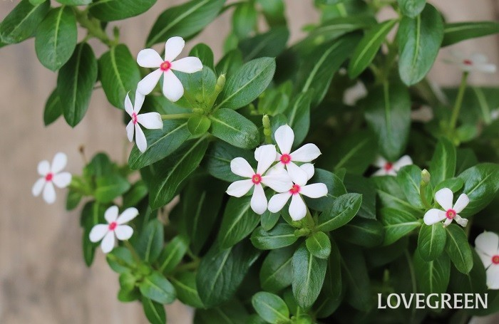 ニチニチソウ'夏花火'は、ニチニチソウの小輪タイプ。普通のニチニチソウよりも花のサイズが小さい特徴があります。5月~10月頃、可愛い小花が花火のように次々と咲き広がります。白い花びらで中心が赤いからでしょうか、ホワイトレッドアイという名もついています。
