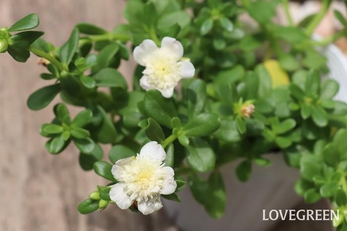 ポーチュラカは、この写真のように八重咲きタイプも出回っています。また、花だけでなく葉も楽しめる斑入りタイプも出てきています。