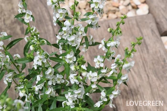 アンゲロニアは5月~10月頃、小さな花を次々と咲かせます。茎は直立して生長し、茎の先端や葉の付け根に穂状の花をつけます。花色は紫色やピンク、白、二色混ざったタイプなどがあります。くせが無い爽やかな花なのでどんな花とも合わせやすいです。  アンゲロニアは夏の高温に強く、半日陰でも花を咲かせるなど丈夫な植物ですが、寒さに弱いので日本では一年草として扱われることが多い花です。