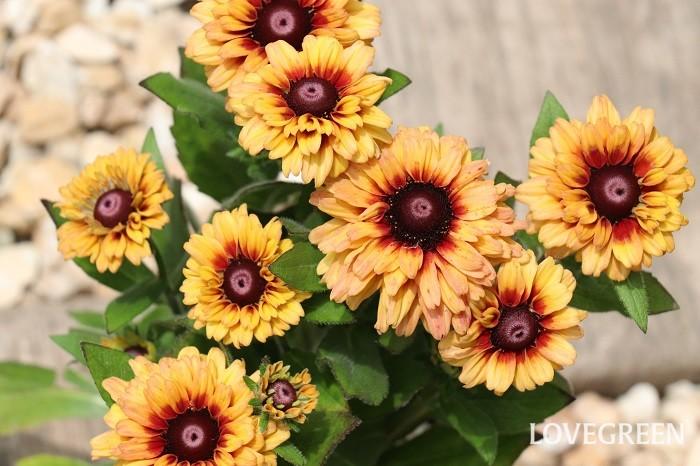 ルドベキアは北アメリカ原産の一・二年草、または多年草。暑い夏にぴったりの華やかで見ごたえのある花です。花期は6月~10月頃で、品種が豊富で花の大きさは、直径3~4cmくらいから10cm以上にもなるものがあります。草丈も40cm~150cmほどと幅広く、花色は黄色、茶色、レンガ色、アンティークカラー、複色など様々です。八重咲きタイプもあります。日当たりと風通しの良い場所を好みます。  写真の少しオレンジがかったシックなブラウン系のルドベキアは、「オータムカラーズ」。オータムカラーズは、耐寒性のある多年草タイプのルドベキアなので、地上部を枯らして越冬し、春に再び芽吹きます。