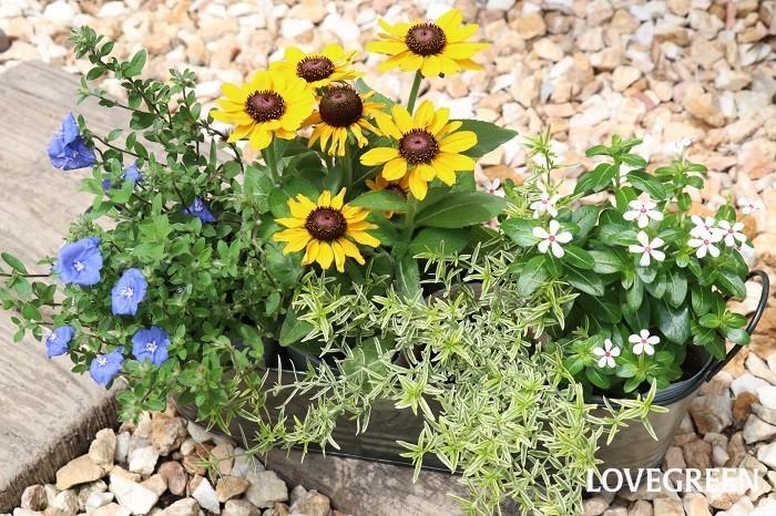 こちらは、反対色であるイエローとブルーのコントラストを活かして、白い小花と明るい斑入りの小葉を合わせた夏らしい組み合わせです。ブリキの器に4ポット仮置きしていますが、草花用の培養土を使ってしっかりと植え付けた方がしっかり根付いて大きく育ちます。  寄せ植えに使った草花  ルドベキア'トト・ゴールデン' アメリカンブルー ニチニチソウ'夏花火' 斑入りミントブッシュ