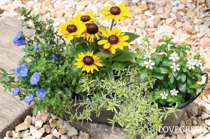 写真は、横長のブリキの器にポット苗を4つ並べた状態です。バランスを考えて配置してみました。このままでもしばらくは育てられますが、ビニールポットから出してしっかり植え付けた方がよく育つのでおすすめです。  黄色いルドベキアをメインに、反対色の青いアメリカンブルーを合わせ、白い小花のニチニチソウ夏花火を加えて爽やかなイメージを作りました。花の中心部の赤色も上品なアクセントになっています。カラーリーフには、ライム色の葉に白い斑が入るふんわりした小葉のミントブッシュを入れています。夏らしい明るく元気な組み合わせです。