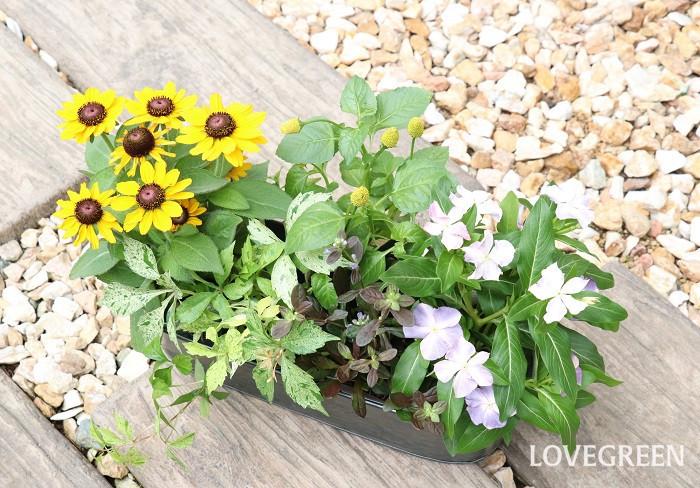 写真は、横長のブリキの器に5種類の苗を組み合わせたものです。スピランサス・ゴールデンたまごぼーるは、野の趣きがあり、主張しすぎない可愛い花姿なのでどんな草花とも合わせやすく、初夏~秋の寄せ植えのアクセントに重宝します。
