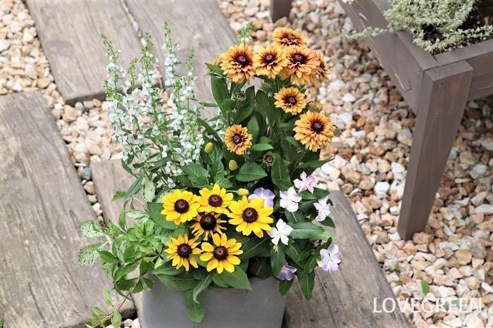 8月におすすめする、暑さに強い植物で作った寄せ植えの管理ポイントをお話しします。  置く場所 寄せ植えは、屋外の風通しの良い日なた~半日陰に置きます。暑さに強い植物でも真夏の直射日光が当たり続けると色が褪せたりすることがあるので、真夏は半日陰くらいの方が状態良く育ちます。  水やり・肥料 株元の土の乾き具合を確認して水切れしないように水やりします。雨に当たった日は、水やりはお休みしましょう。真夏の水やりは、高温多湿を避けるため、早朝や夕方以降の涼しい時間帯に行います。土の乾きが早い場合は、朝晩水やりしましょう。  ルドベキアやメランポジウムなど、花期が長いものは肥料が必要です。植え付けるときに肥料入りの培養土を使った場合は、1カ月後から液肥や固形肥料を与えましょう。  花がら取り 咲き終わった花(花がら)や古い葉は、見た目も悪く病害虫の発生の原因となるので早めに取り除きます。花がらを取ることで、次の花が咲きやすくなります。  花後の管理 茂りすぎたら全体のバランスを見て切り戻すときれいな寄せ植えがキープできます。  メランポジウムなどの一年草は寒くなったら抜き取り、寒さに強い植物に植え替えましょう。本来多年草で、寒さに弱いため日本では一年草扱いされているものは、室内に取り込んで管理すると越冬できます。  まとめ 暑さの厳しい8月は、暑い中でも咲き続ける花を上手に選んで育てると安心です。夕方、少し暑さが和らいだ時間に水やりをすると植物が気持ち良さそうに見えます。自分も夕涼みができて癒されるので、夏の夕方の水やりタイムが好きです。夏も寄せ植えを育てて植物から元気をもらいましょう!