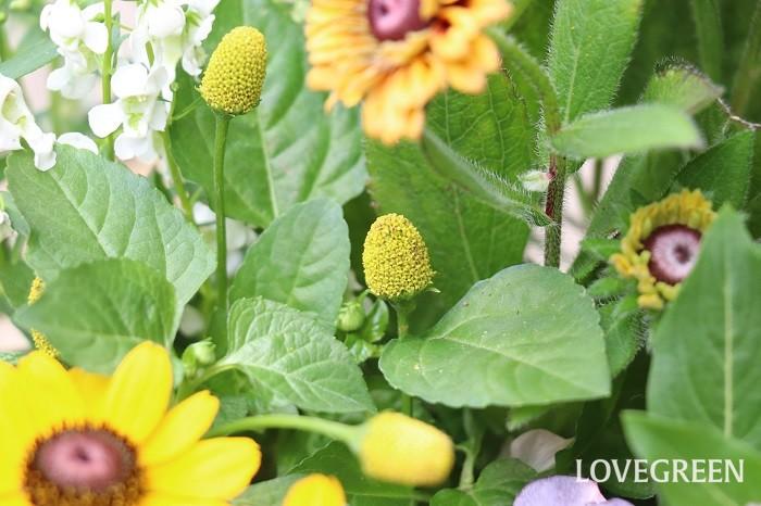 スピランサス・ゴールデンたまごぼーるは、生育旺盛なので種からも育てやすいと言われています。春(3月下旬~4月頃)に種をまくと、2か月ほどで初めの花が咲き、夏から秋に花を楽しめます。  丸くて可愛い花が咲くスピランサス・ゴールデンたまごぼーる。寄せ植えに合わせやすく、使うとほっこり愛らしい雰囲気をプラスできるのでぜひ使ってみてくださいね。