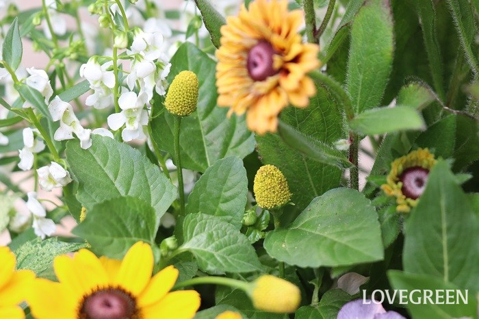 スピランサス'ゴールデンたまごぼーる'は暑さに強く、夏から秋に勢いを増して咲きます。咲き終わった花をそのままにしておくと種ができて種に栄養がいってしまいます。枯れた花を摘み取ることで、長期間咲き続けます。寒さに弱いため日本では一年草扱いされることが多い植物です。