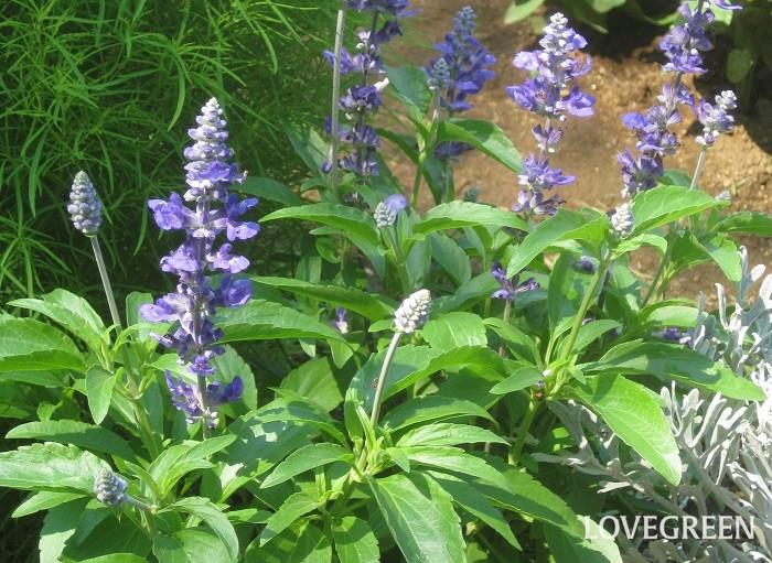 ブルーサルビアは、ラベンダーに似た青い花を5月~11月頃まで咲かせます。丈夫で暑さに強いことから、夏から秋にかけて使う花苗として人気があります。原産地では宿根草ですが、寒さに弱いため日本では一年草として分類されています。