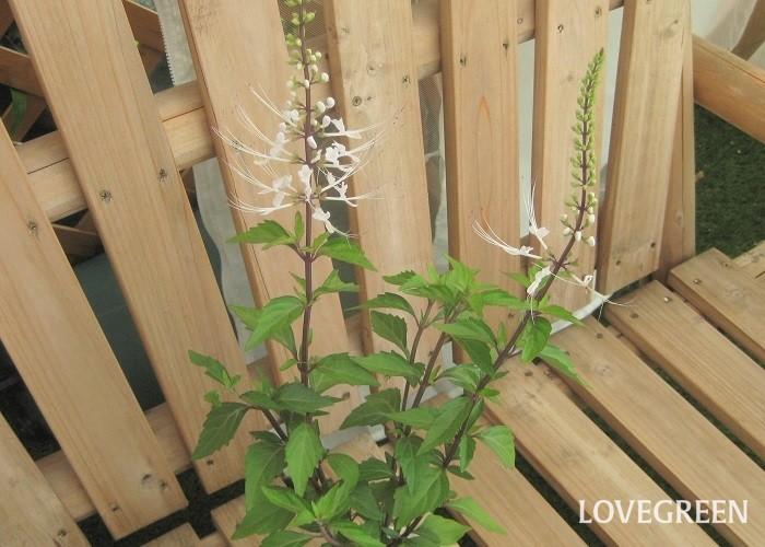 ネコノヒゲは6月~11月頃、ネコのヒゲを連想させるような花を咲かせます。長い雄しべと雌しべがやや上向きにピンと反る花姿はとてもユニークです。花色は真っ白と薄紫色があります。黒みを帯びた茎と花とのコントラストが美しく、様々な草花と合わせやすいです。  風通しの良い日なた~半日陰と水はけの良い用土を好みます。本来は多年草ですが、寒さに弱いため日本では一年草として扱われています。