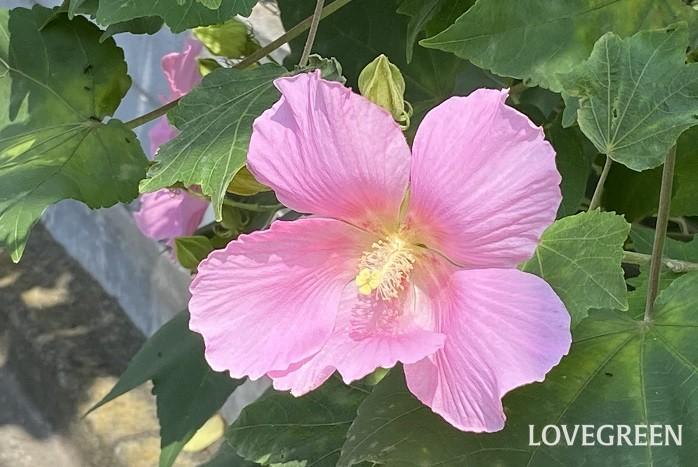 8月に咲く花・フヨウ