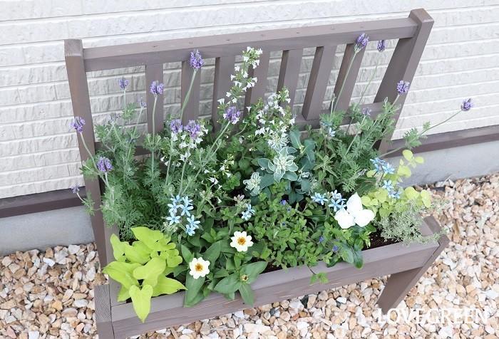 写真はブルースターを使った寄せ植えです。一見、他の花やカラーリーフにうもれてあまり目立たないように見えますが、よく見ると中心部分でブルースターの水色の小さな小花がしっかりとアクセントになっています。  寄せ植えに使った草花  レースラベンダー ジニア ニチニチソウ アメリカンブルー ハツユキソウ カラミンサ イポメア クリサンセマム・ペティオラレ タイム ブルースター