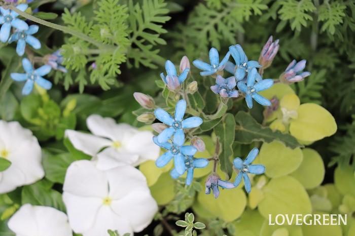 ブルースターは爽やかで愛らしく、小さいけれども存在感のある花を咲かせます。青い5枚の花びらが星のように見えることから、ブルースターという名前がついています。咲き始めは水色、咲き終わりに近づくにつれて青が濃くなり、紫色に近い色なります。花色はブルーが主流ですが、他に白やピンク色の花が咲く種類もあります。キョウチクトウ科ではなくガガイモ科に分類されることもあります。和名では瑠璃唐綿(ルリトウワタ)と呼ばれます。  ブルースターは、南米原産で暑さに強く、初夏から秋まで咲き続け、強い霜に当たらなければ屋外で冬越し出来るほど比較的丈夫な植物です。葉は長い楕円形で、葉や茎に短くて白いうぶ毛がはえています。触るとふわふわした質感です。茎を切ると断面から白い乳液が出てきます。肌の弱い方はかぶれることがあるので、触れたらしっかり手を洗いましょう。