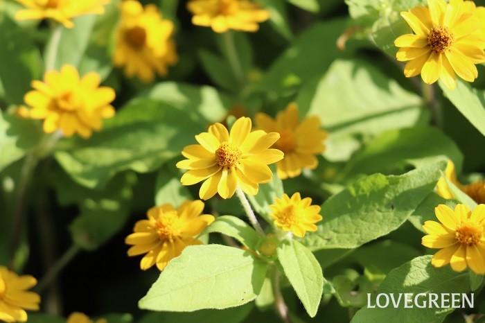 メランポジウムは4月~11月頃の長い期間花を咲かせる、暑さに強く丈夫で育てやすい植物です。こんもりと茂った株に、黄色い小さな花を休みなく咲かせます。花が咲き終わると、その上に新芽が伸びて次の花が咲くので、特に花がら摘みをしなくてもいつもきれいな株姿に整います。
