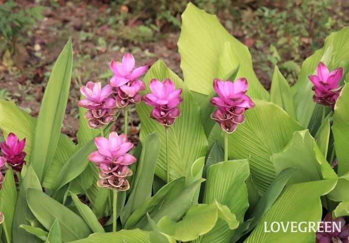 クルクマは7月~9月頃、白やピンク、グリーンなどの爽やかで可憐な花を咲かせます。花の形は蓮を思わせるような姿をしていますが、花に見える部分は花ではなく包葉(ほうよう)といって、花を包んでいる葉です。この包葉の中に小さな花が咲いています。寒さに弱いので、球根は寒くなる前に掘り出し、10℃以下にならない場所で保管して春に再び植え付けます。