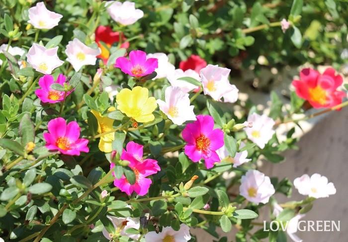 ポーチュラカは5月~10月頃、ピンク、赤、橙、黄、白などカラフルな可愛い花を次々と咲かせます。多肉質の葉と茎をもち、暑さや乾燥に強い花です。丈夫で育てやすく、這うように広がる性質があります。寒さに弱く日本では一年草扱いされていますが、挿し芽で簡単に増やすことができるので、9月頃に挿し芽で小苗を作って室内で冬越しすると翌年も楽しめます。
