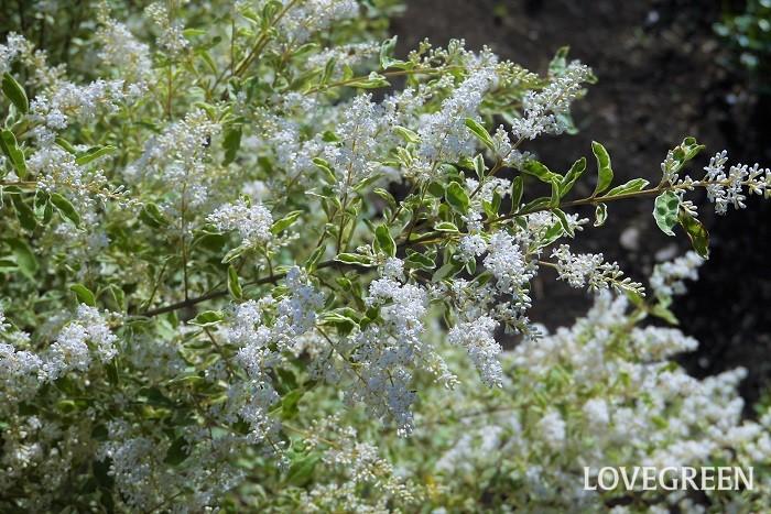 花期:4月~5月 樹高:1~3m シルバープリベッドは、斑入りの小さな葉が可愛らしいモクセイ科の低木です。半落葉ですが温暖な地域では、ほぼ常緑です。春に小さな香りの良い花を咲かせ、秋に黒い果実を付けます。