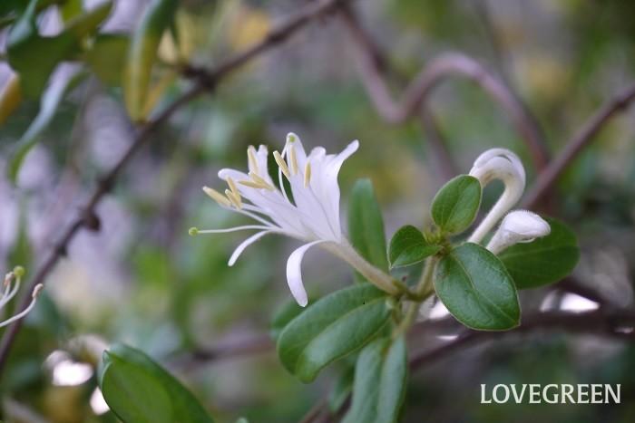花期:4~5月 分類:半常緑つる性木本 スイカズラは甘い香りの花を咲かせるつる植物です。英名はハニーサックルと言い、香料の原料にもなります。大した手間をかけなくても毎年花を咲かせる育てやすい花です。