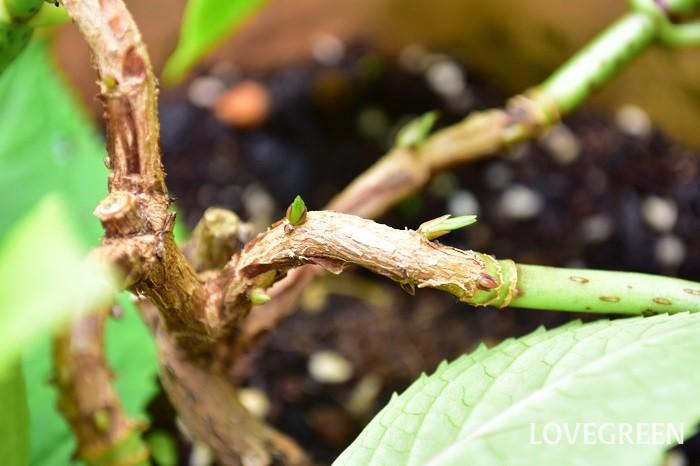 四季咲きアジサイの育て方 剪定