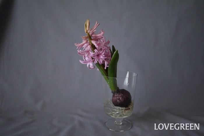 分類:多年草 花期:3~4月 ヒヤシンスは香りがよいことでも有名な春を代表する球根花。庭植えでも鉢植えでも水耕栽培でもよく育ちます。水耕栽培で室内で育てると露地のものより少し早く開花します。