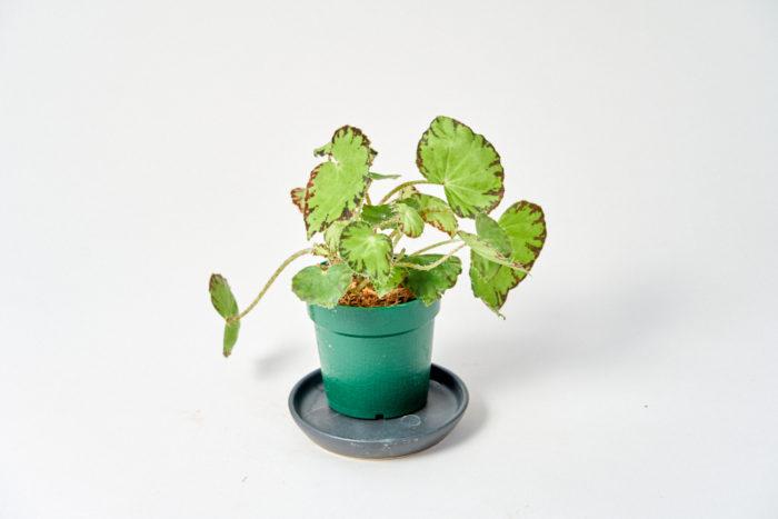 ひとみとは、土ではなく水苔で植えてお届けします。水やりが忘れがちな方にもおすすめです。