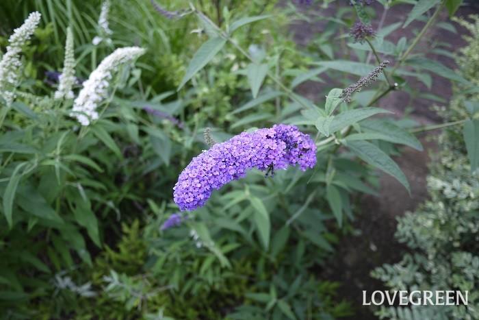 花期:7月~10月 分類:落葉低木 ブットレアは穂のような花を咲かせる花木です。夏の間次々と開花します。花色は紫や白、ピンク。丈夫で育てやすいので人気の花木です。