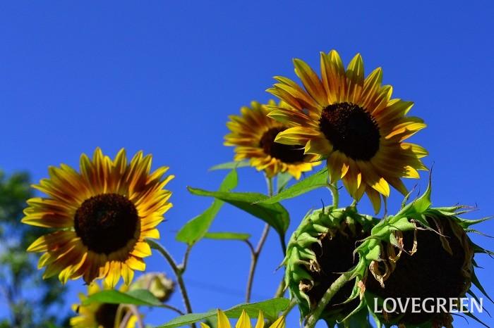 夏の花の代表と言えばひまわり。元気で明るい雰囲気の夏の一年草です。もともとは背丈の高い草花でしたが、最近は矮性種や分枝性がある性質など色々と種類が豊富になってきました。色も黄色をはじめ、黄色でもちょっとシックな雰囲気のあるもの、レッド系、ブラウン系など、深みのある大人っぽい雰囲気のひまわりもあります。夏の強い日差しの中で咲く花だけに、ひまわりは青空が似合う花です。