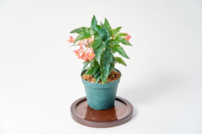 最近人気の観葉植物、ベゴニアのキャサリンメイヤー。花は春〜秋ごろとクリスマスの時期に咲かせます。葉も小さく小型品種です。柊に似た葉をしていて寒さにも強いので、冬はミニクリスマスツリーとして飾ってみてもいいかも。