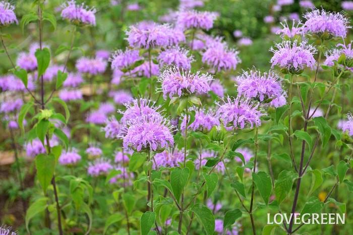 モナルダは開花期間の長いシソ科の宿根草のハーブ。和名が「タイマツバナ」と言われるのは、もともとの種が赤い花でタイマツのような形に見えることからきています。最近は品種改良が進み、赤の他、白、ピンク、パープル(紫)などたくさんの品種があります。