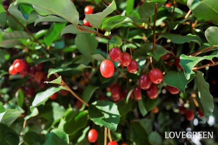 収穫期:5月~6月 樹高:1~3m ナワシログミは、銀色がかった光沢のある葉が特徴の常緑低木です。赤く熟したナワシログミの実は柔らかく、酸味と甘みがあります。強い刈り込みにも耐えるので、生垣として利用されます。
