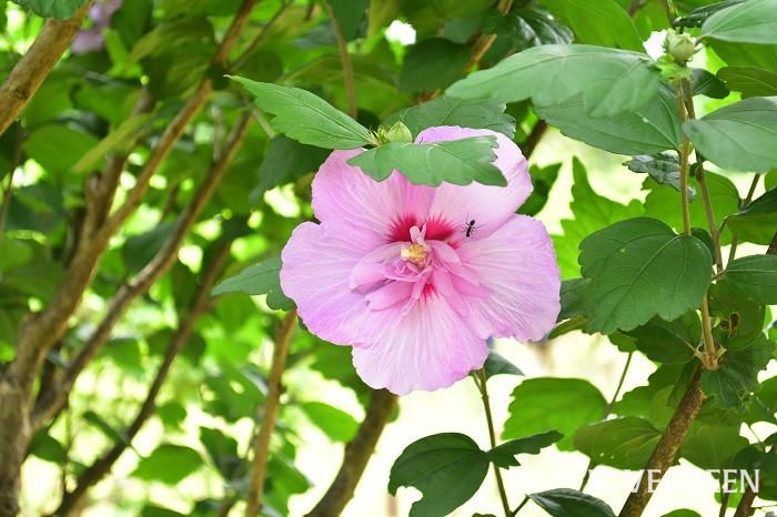 ムクゲは夏から秋まで大輪の花を次から次へと開花させるアオイ科の落葉低木で、昔から庭木や生け垣として植栽されています。