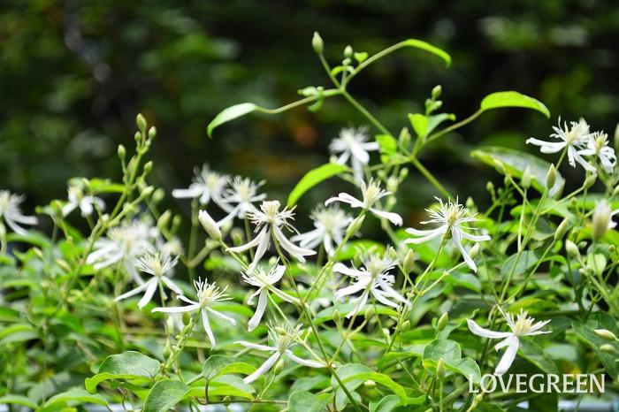 8月に咲く花・センニンソウ
