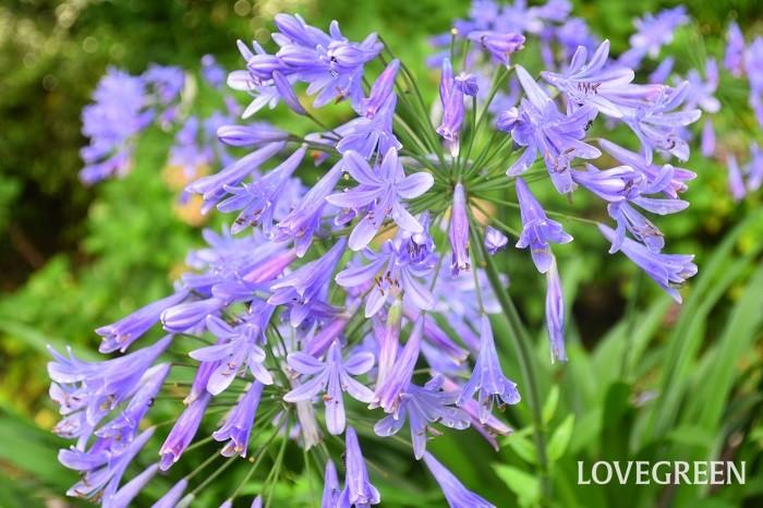 アガパンサスはユリ科の多年草。光沢と厚みのある葉が茂った中からすっと花首を立ち上げて花火のように薄紫色の美しい花を咲かせます。性質が丈夫で育てやすいため、公園や花壇の植え込みなどによく使われています。アガパンサスは咲く時期は、梅雨で雨の多い季節。アジサイと並んで雨や曇りの中でも美しく見える花色です。