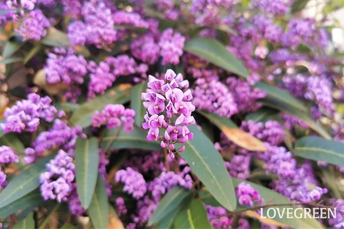 花期:3~5月 分類:常緑つる性木本 ーデンベルギアは春に鮮やかな紫色の花を咲かせるつる植物です。関東より暖冬な地域であれば常緑です。庭植えにすると年々大きくなり、たくさんの花を咲かせます。