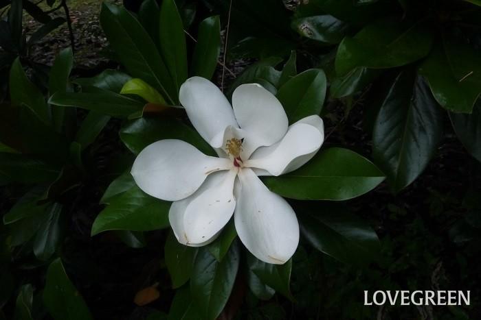 花期:6月~7月 樹高:10m以上 タイサンボクは、高木の上の方に大きくて香りの良い真白な花を咲かせます。葉の表面は光沢があるグリーンで裏は茶色です。香料の「マグノリア」は、タイサンボクのことを指します。