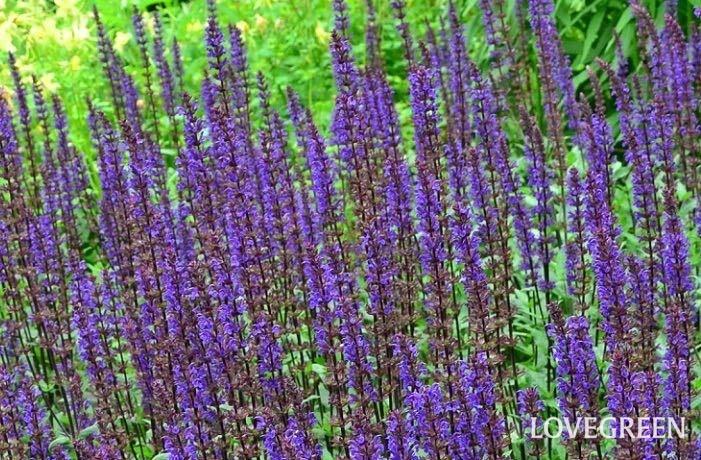 サルビアやセージはたくさんの品種があり、一年草のものから宿根草のものまで様々です。一年草の代表的なサルビアと言えば、赤いサルビア、「サルビア・スプレンデンス」や「ブルーサルビア」。暑い時期でもたくさんの穂状の花が開花します。