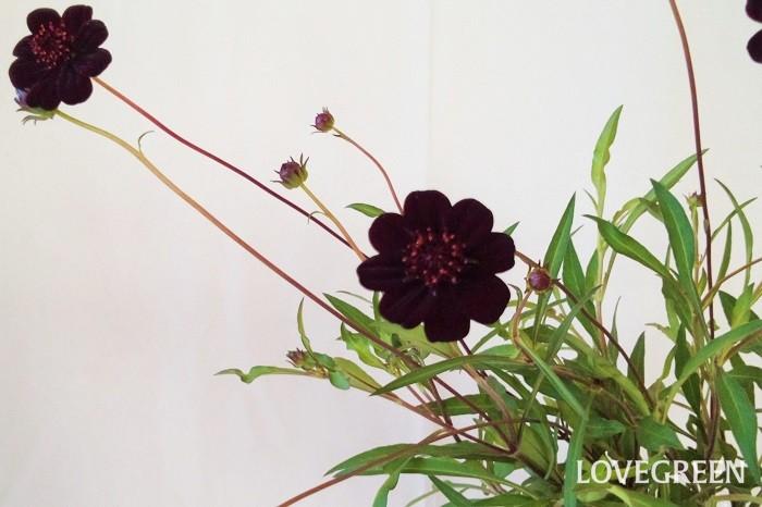 学名:Cosmos atrosanguineus 科名・属名:キク科コスモス属 分類:半耐寒性多年草 花期:5月~11月 チョコレートコスモスの特徴 チョコレートコスモスは名前の通りチョコレートを思わせるような焦げ茶色の花が可愛らしいキク科の半耐寒性多年草。草丈は40~60cm程度まで成長します。夏の高温多湿が苦手で夏越しが難しいとされている草花です。  チョコレートコスモスはチョコレートを思わせる甘い香りが特徴。ただし香るものもあればまったく香らないものもあります。香りがあるものでもそれほど強い香りではありません。鼻を近づけてよく確認するとほのかに香る程度です。香りを楽しむ際には鼻に花粉が付かないように気をつけてください。  チョコレートコスモスはコスモス(秋桜)の仲間ですが、コスモスは一年草なのに対しチョコレートコスモスは多年草です。