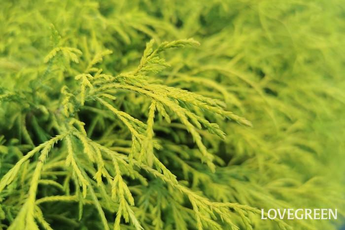 樹高:03.5~3m フィリフェラオーレアはヒノキ科ヒノキ属の常緑低木です。強い刈り込みにも耐えるので、生垣にも好まれます。明るいライムグリーンの葉が美しい庭木です。