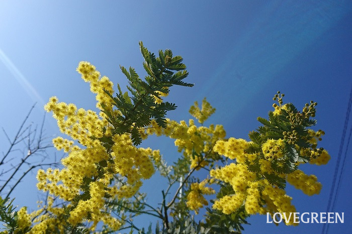 花期:3月~4月 樹高:5~10m ミモザは春にふわふわの羽毛のような黄色い花を咲かせる常緑高木です。花の美しさと合わせて香りも良いことからシンボルツリーとして好まれます。